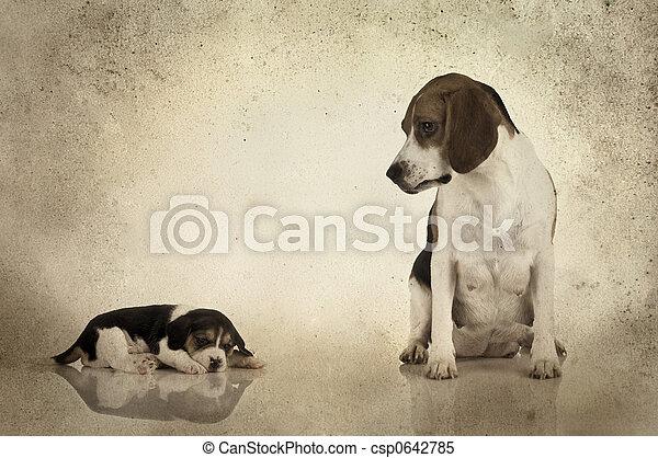 Beagle mom - csp0642785