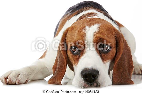 beagle, porträt, hund, junger - csp14054123