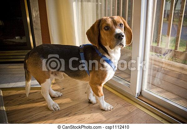 Beagle Pup - csp1112410