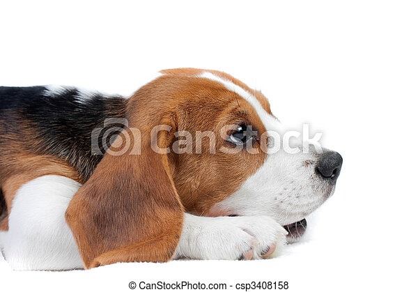 Must see Tiny Beagle Adorable Dog - beagle-puppy-lying-pictures_csp3408158  Photograph_389380  .jpg