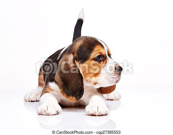 Beagle puppy on white background - csp27385553