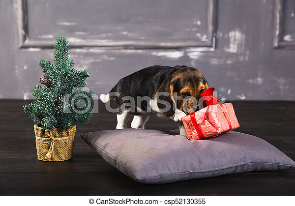 beagle puppy sniffing gift box young beagle puppy sniffing gift box