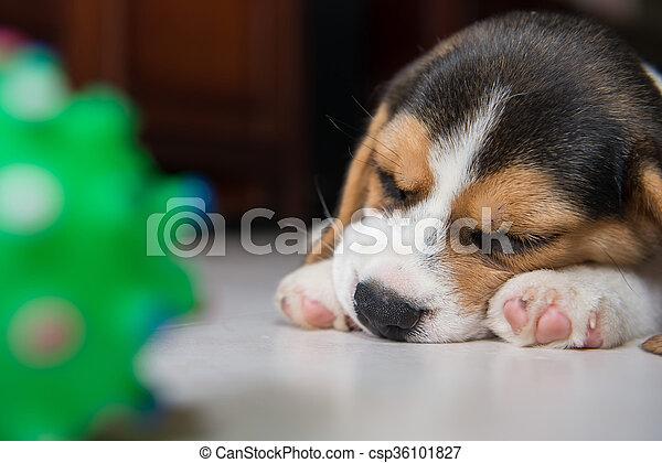 beagle puppy - csp36101827