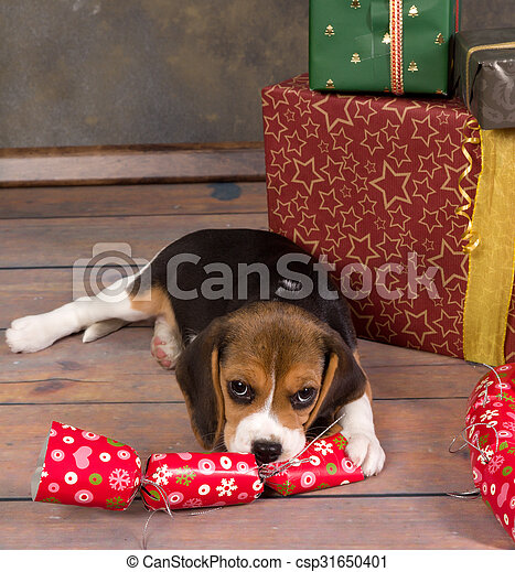 beagle puppy with christmas gift csp31650401 - Christmas Beagle