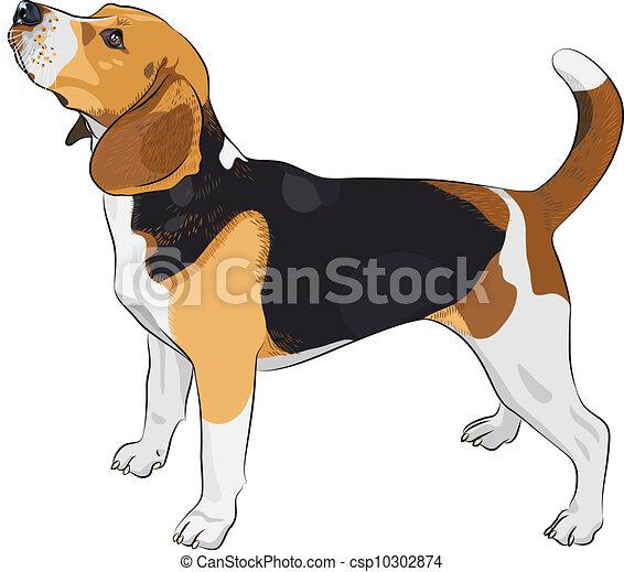 beagle, race, vecteur, croquis, chien - csp10302874