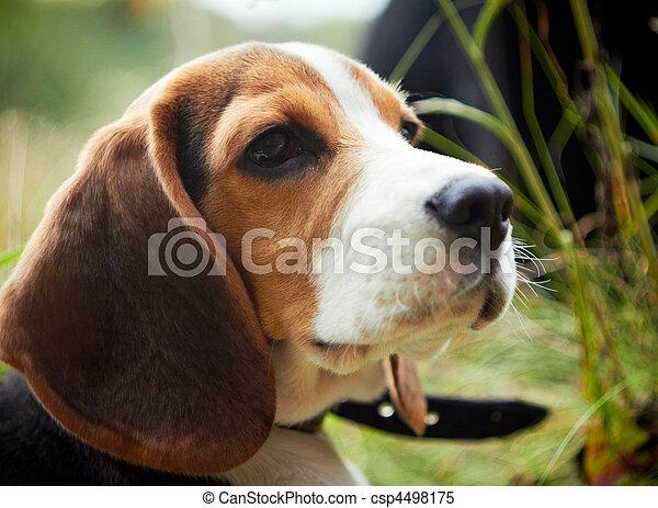 beagle, reizend, puppy. - csp4498175