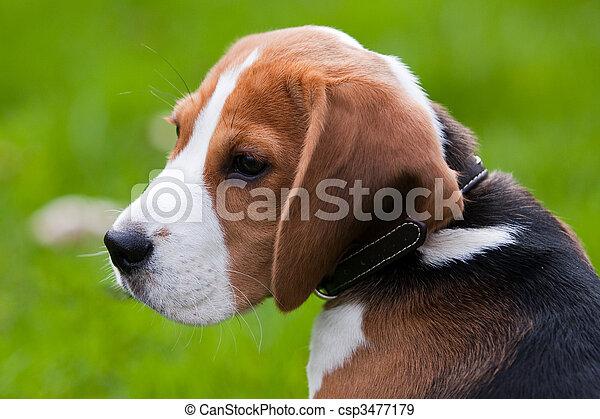beagle, schließen, porträt - csp3477179