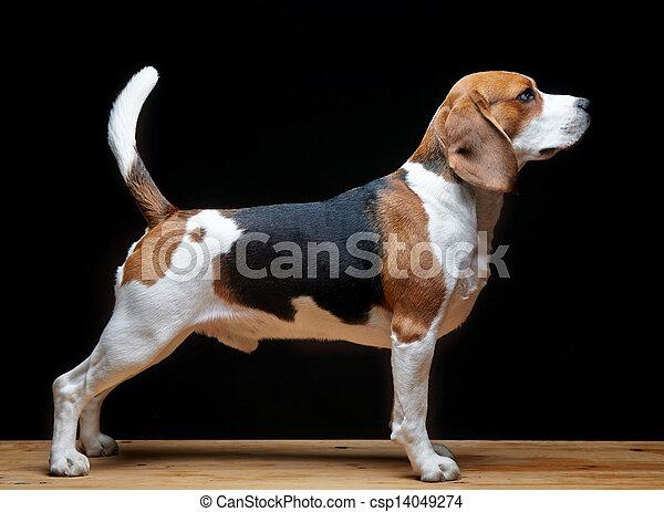beagle, schwarzer hund, hintergrund - csp14049274