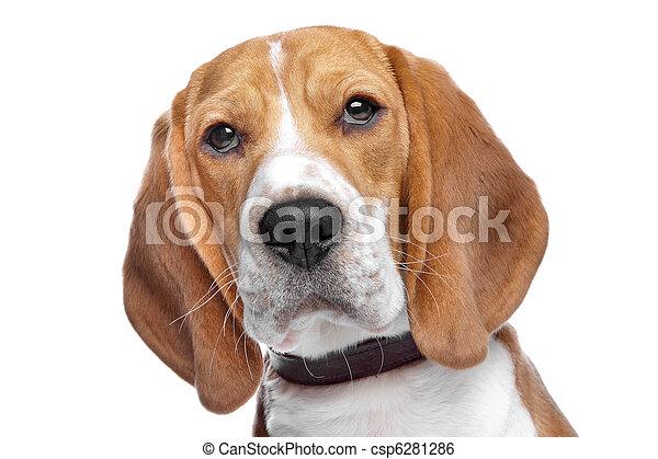 beagle - csp6281286