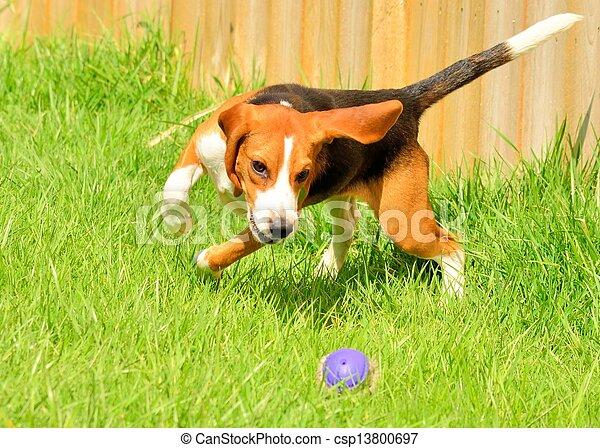 beagle - csp13800697