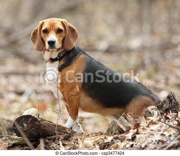 beagle, wälder, posierend - csp3477424