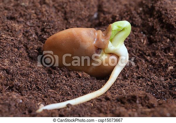 bean., germination - csp15073667