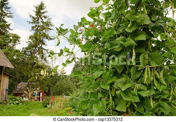 Bean Legume Bush Grow Rural Homestead House Garden   Csp13375312