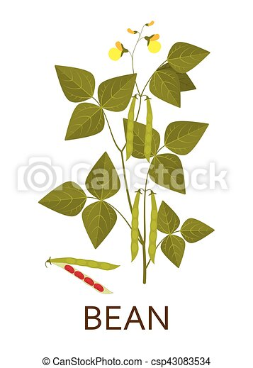 Bean plant with leaves, pods and flowers. Vector illustration. - csp43083534