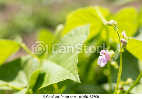Beans plants and flowers as very nice natural background - csp56167699