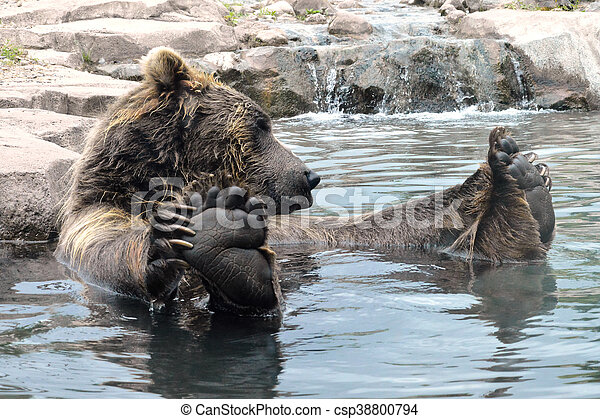 Bear in the water - csp38800794