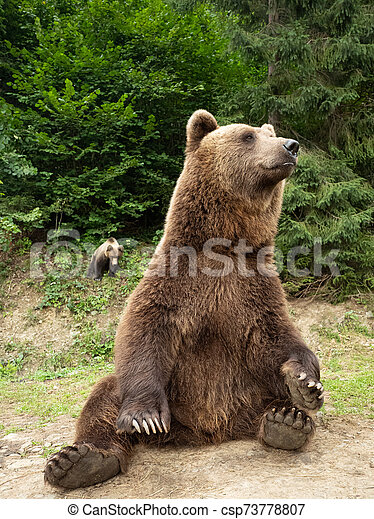 bear sits in the forest on the ground - csp73778807
