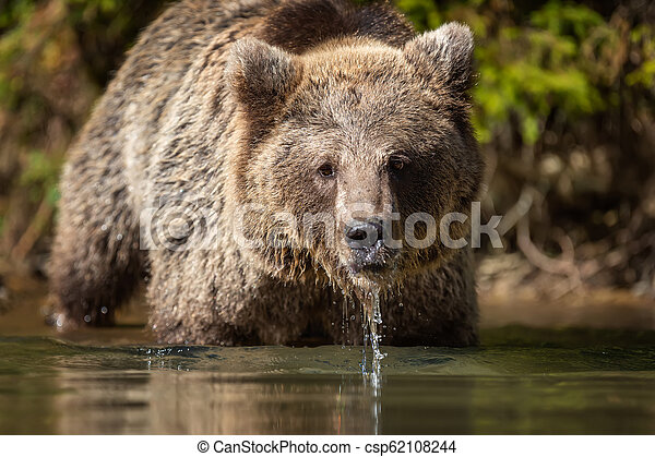 Bear (Ursus arctos) in lake - csp62108244