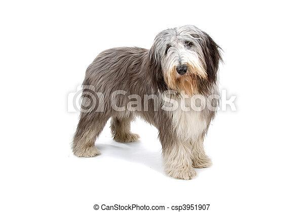 Bearded collie, highland collie - csp3951907