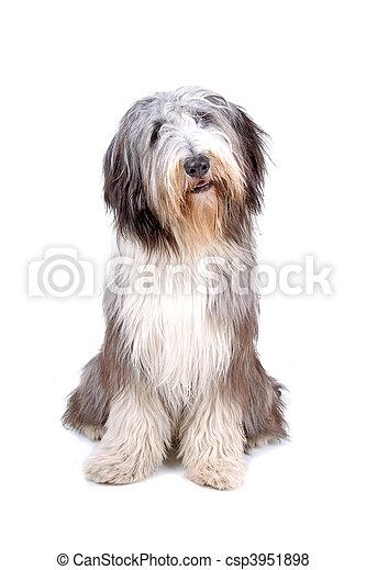 Bearded collie, highland collie - csp3951898