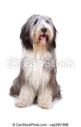 Bearded collie, highland collie - csp3951896
