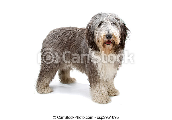 Bearded collie, highland collie - csp3951895