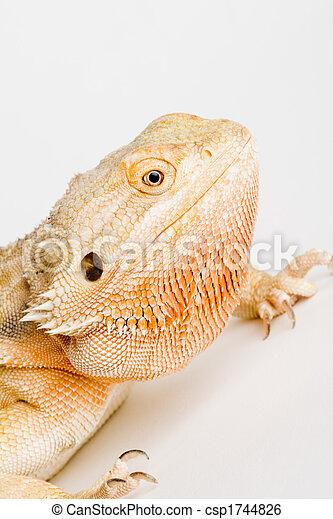 bearded dragon - csp1744826