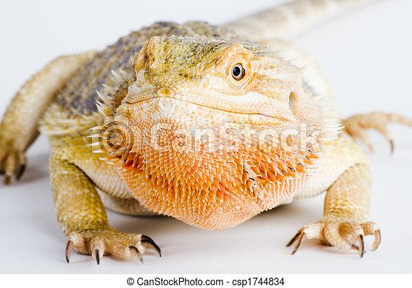 Bearded dragon - csp1744834