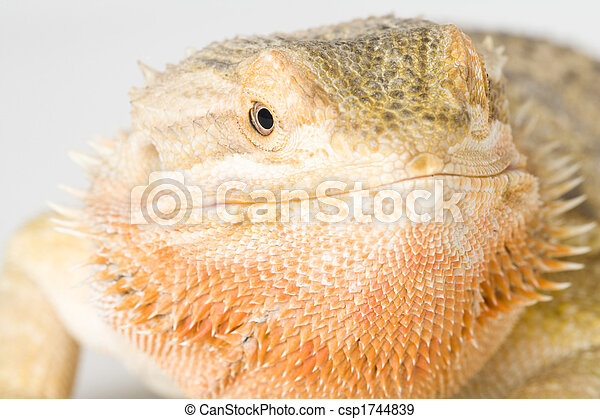 bearded dragon - csp1744839