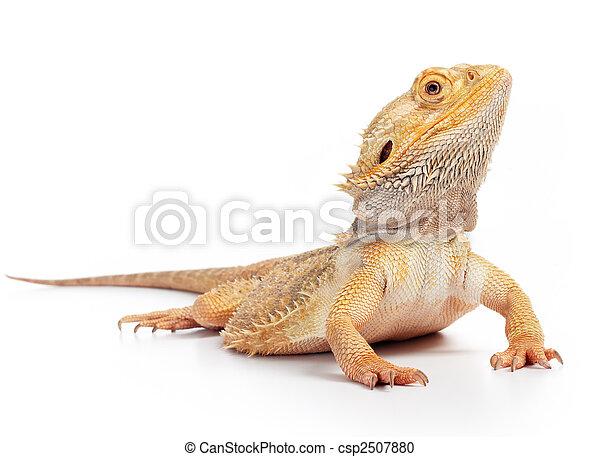 bearded dragon - csp2507880