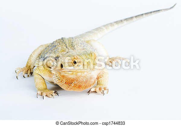 bearded dragon - csp1744833