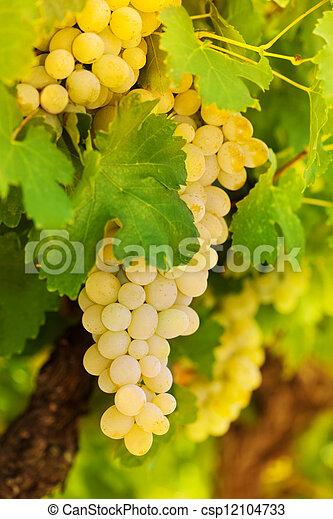 Beatiful bunch of white grape - csp12104733
