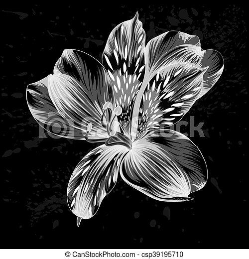 Beau Alstroemeria Fleur Noir Blanc Monochrome Beau Saisonnier