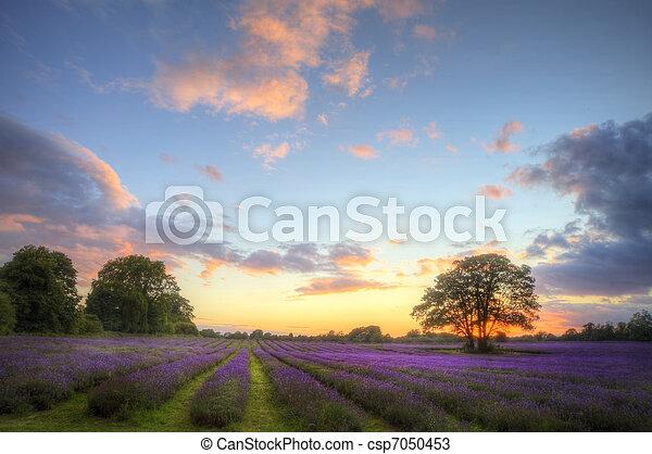 beau, atmosphérique, mûre, vibrant, campagne, champs, image, ciel, lavande, abrutissant, coucher soleil, anglaise, nuages, sur, paysage - csp7050453