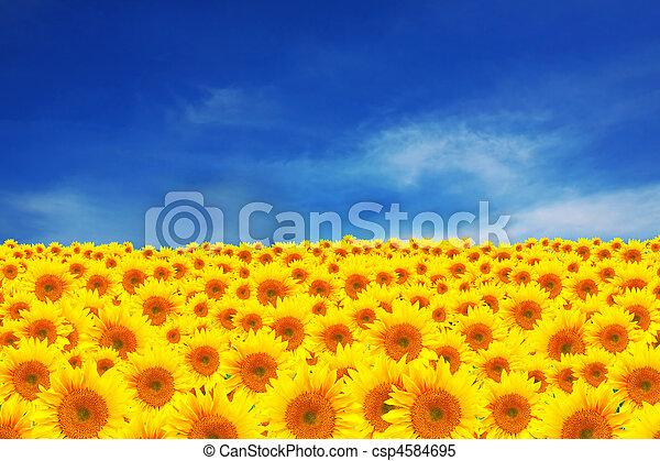 beau, champ, tournesols, ciel, indice - csp4584695