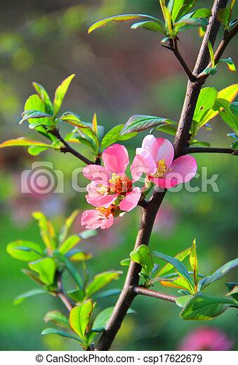 beau, fleurs, fleur, sakura - csp17622679