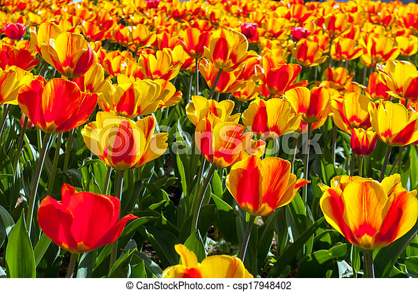 beau, fleurs ressort, tulipes - csp17948402