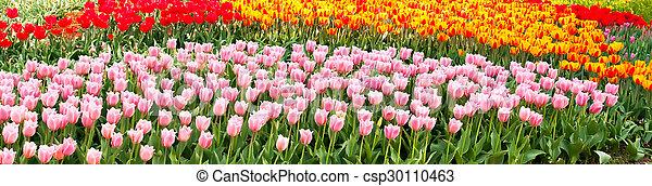 beau, fleurs ressort, tulipes - csp30110463