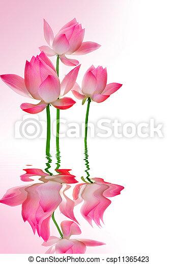 beau, lotus, reflet - csp11365423