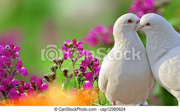 beau, pourpre, deux, fleurs blanches, colombes, aimer - csp12380624