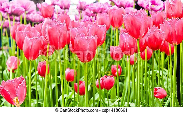 beau, printemps, flowers., tulipes - csp14186661