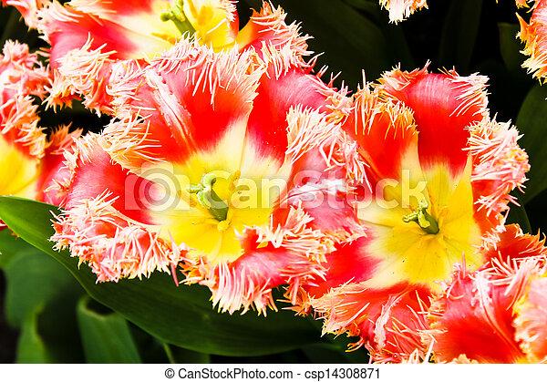beau, printemps, flowers., tulipes - csp14308871