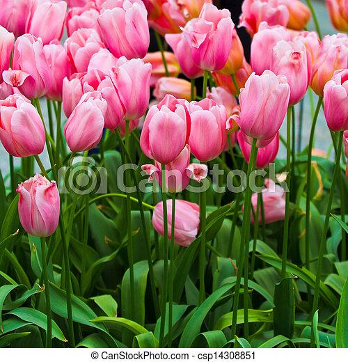 beau, printemps, flowers., tulipes - csp14308851