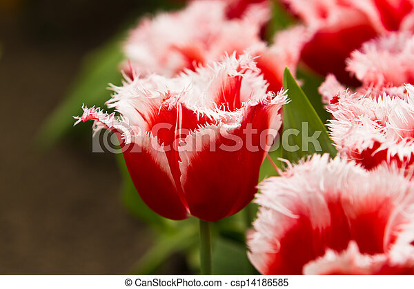 beau, printemps, flowers., tulipes - csp14186585
