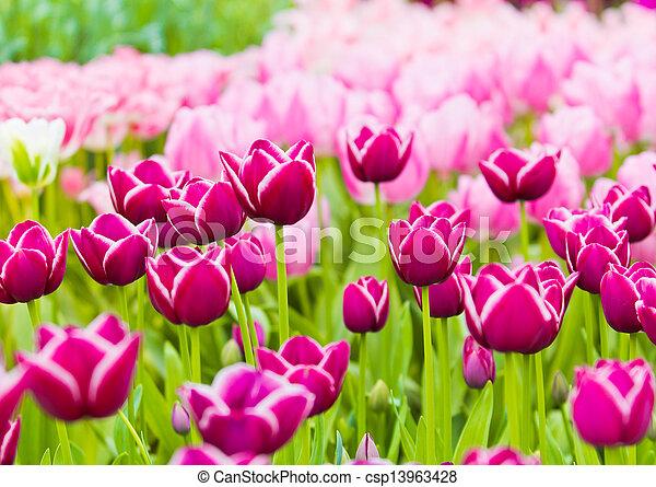 beau, printemps, flowers., tulipes - csp13963428