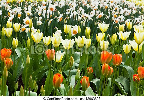beau, printemps, flowers., tulipes - csp13963627