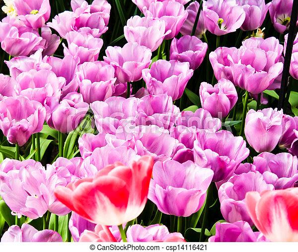 beau, printemps, flowers., tulipes - csp14116421