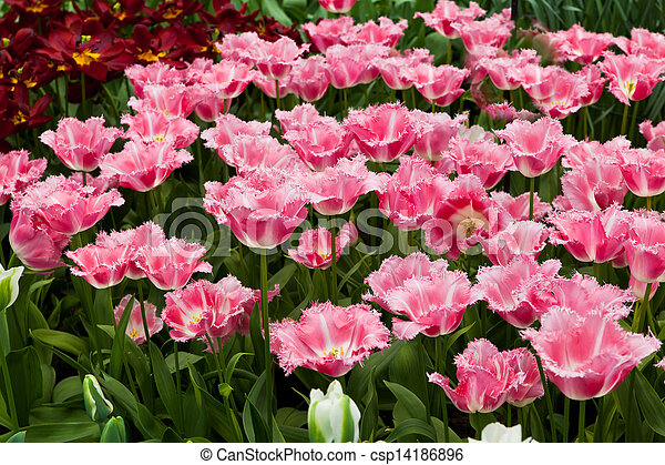 beau, printemps, flowers., tulipes - csp14186896