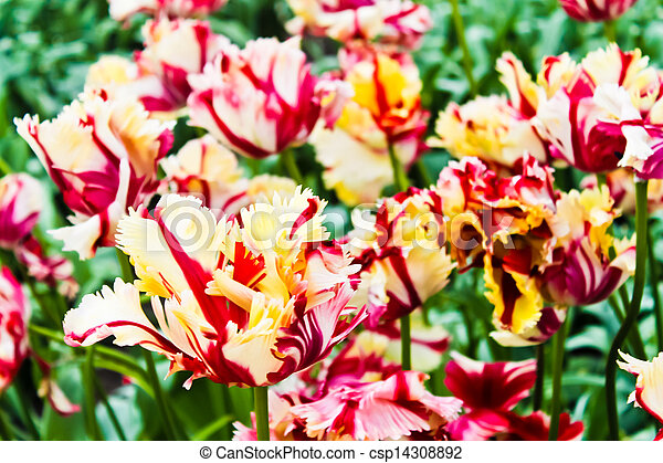 beau, printemps, flowers., tulipes - csp14308892