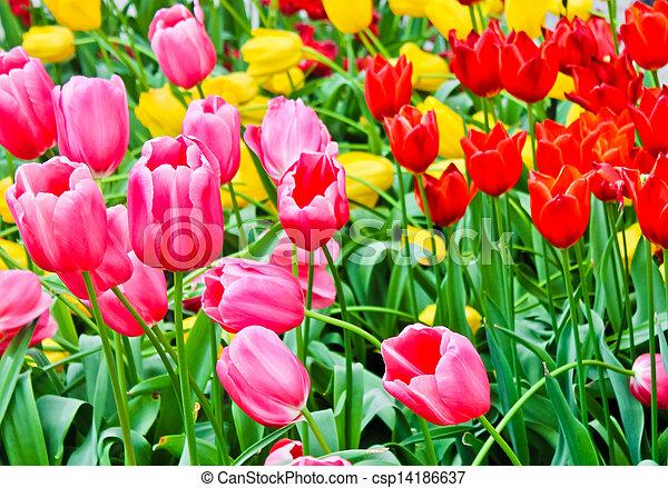 beau, printemps, flowers., tulipes - csp14186637